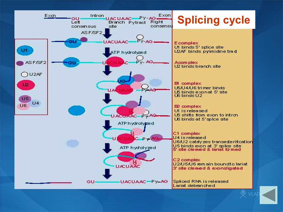 Splicing cycle