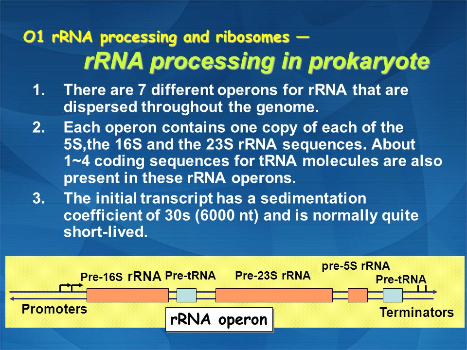 O1 rRNA processing and ribosomes — rRNA processing in prokaryote