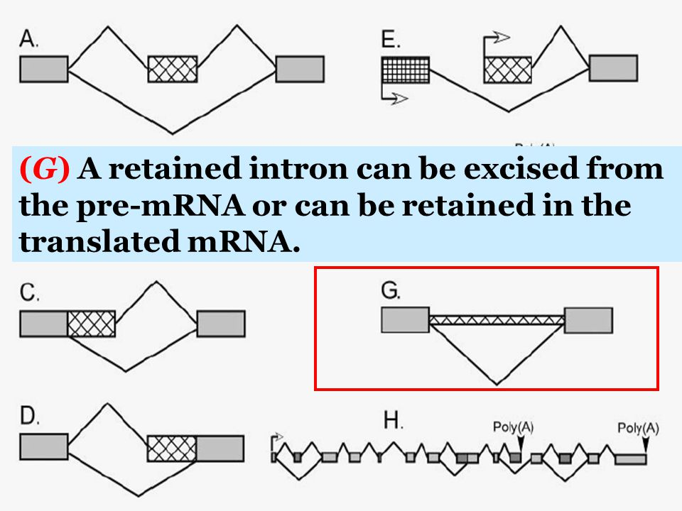 (G) A retained intron can be excised from the pre-mRNA or can be retained in the translated mRNA.