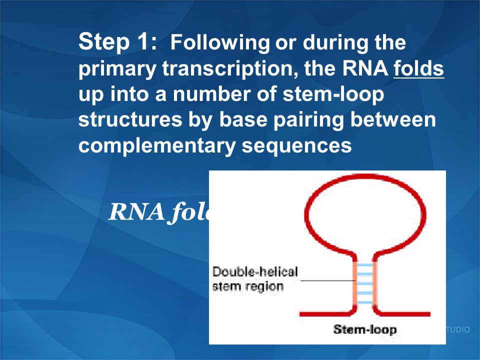 Step 1: Following or during the primary transcription, the RNA folds up into a number of stem-loop structures by base pairing between complementary sequences