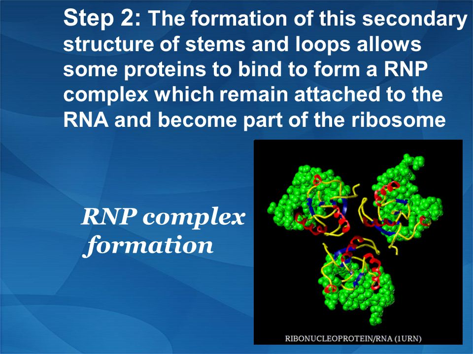 Step 2: The formation of this secondary structure of stems and loops allows some proteins to bind to form a RNP complex which remain attached to the RNA and become part of the ribosome