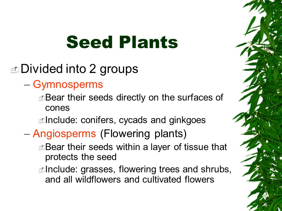Seed Plants Divided into 2 groups Gymnosperms