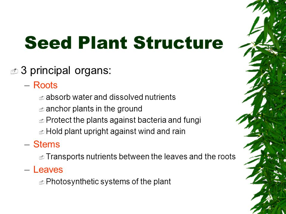 Seed Plant Structure 3 principal organs: Roots Stems Leaves