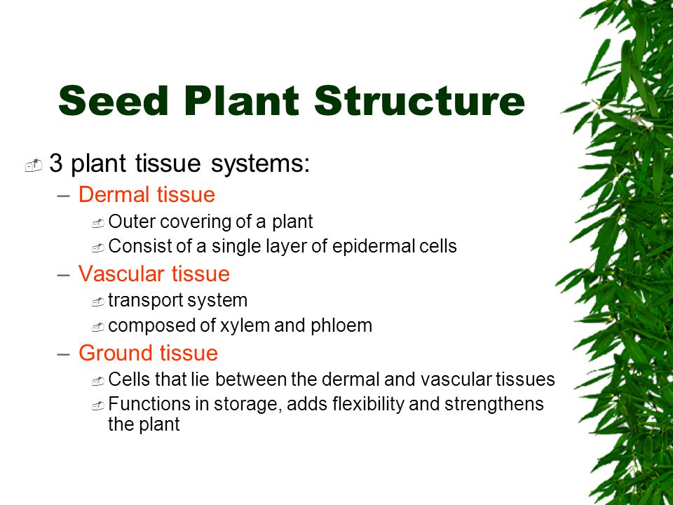 Seed Plant Structure 3 plant tissue systems: Dermal tissue