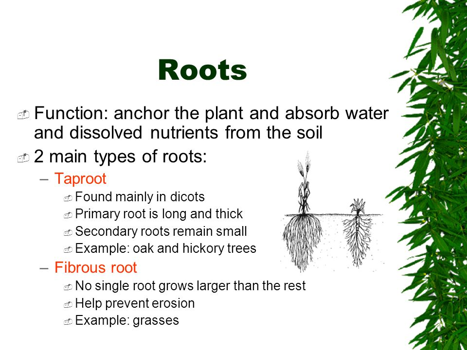 Roots Function: anchor the plant and absorb water and dissolved nutrients from the soil. 2 main types of roots: