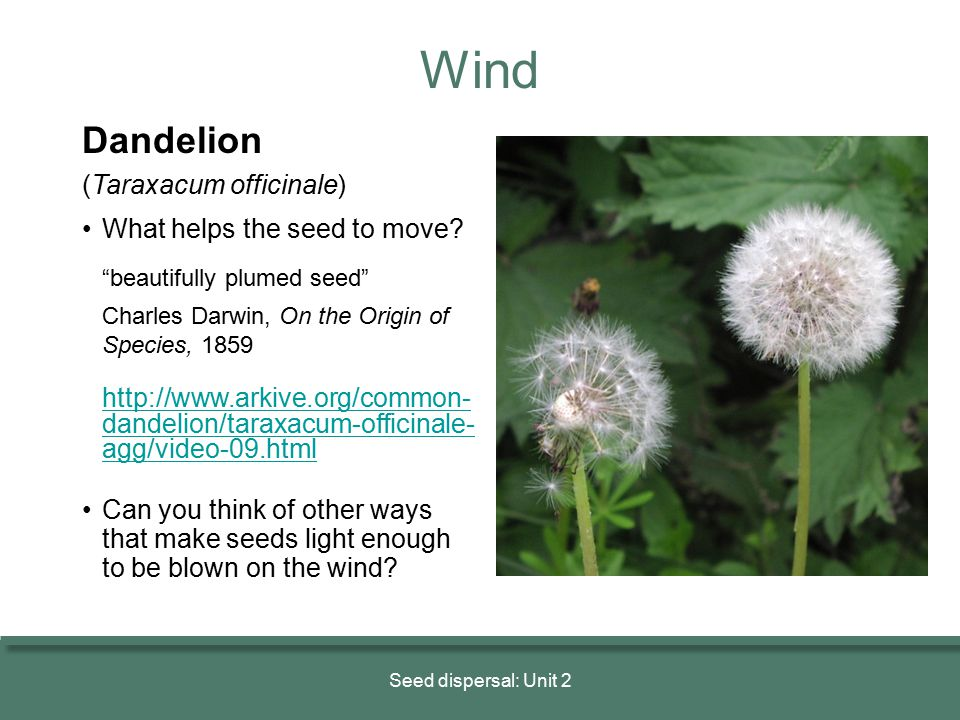 Wind Dandelion (Taraxacum officinale) • What helps the seed to move