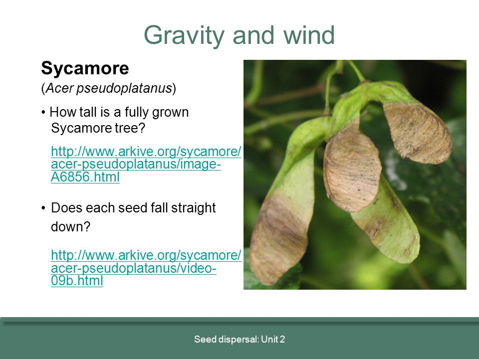 Gravity and wind Sycamore (Acer pseudoplatanus)