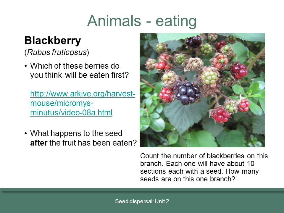 Animals - eating Blackberry (Rubus fruticosus)