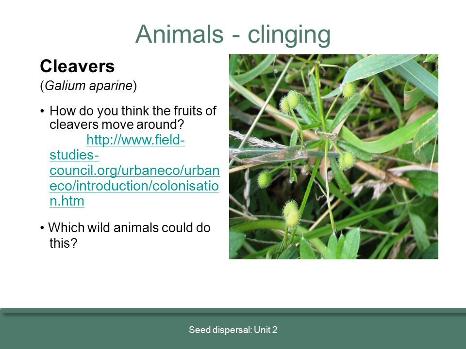Animals - clinging Cleavers (Galium aparine)