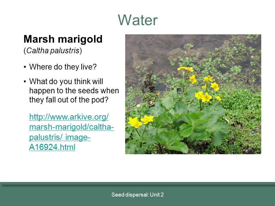 Water Marsh marigold (Caltha palustris) • Where do they live