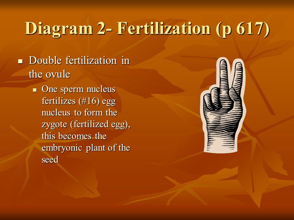 Diagram 2- Fertilization (p 617)