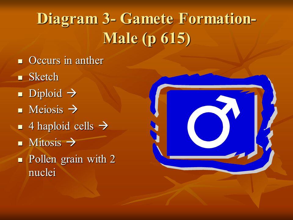 Diagram 3- Gamete Formation- Male (p 615)