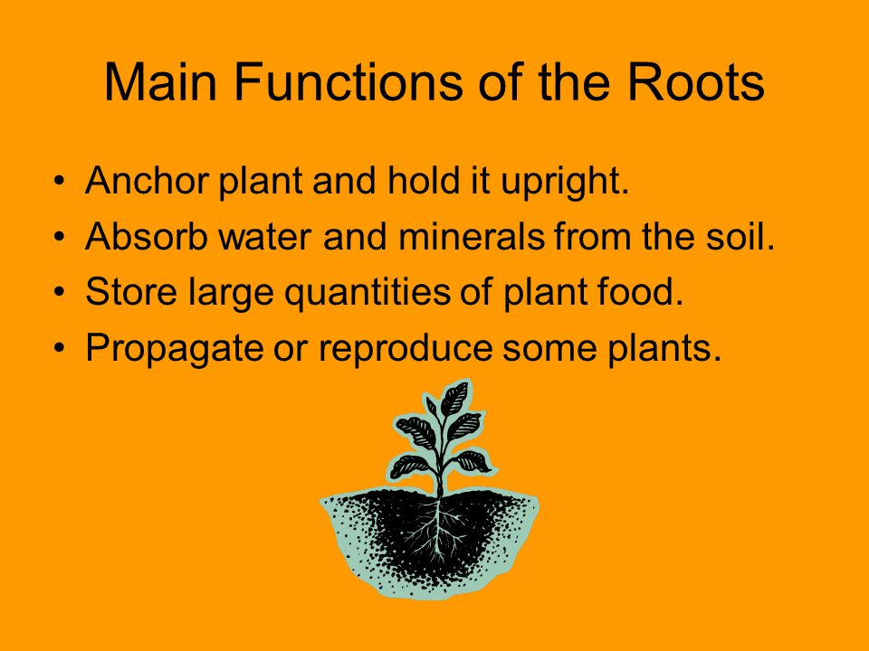 Main Functions of the Roots