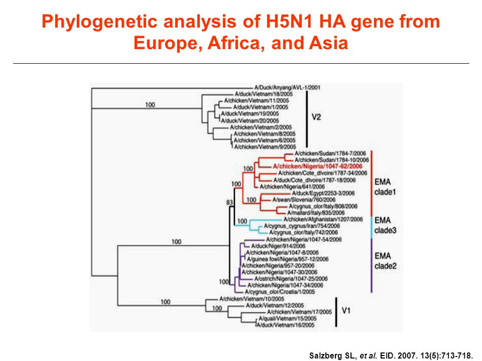 Phylogenetic analysis of H5N1 HA gene from Europe, Africa, and Asia