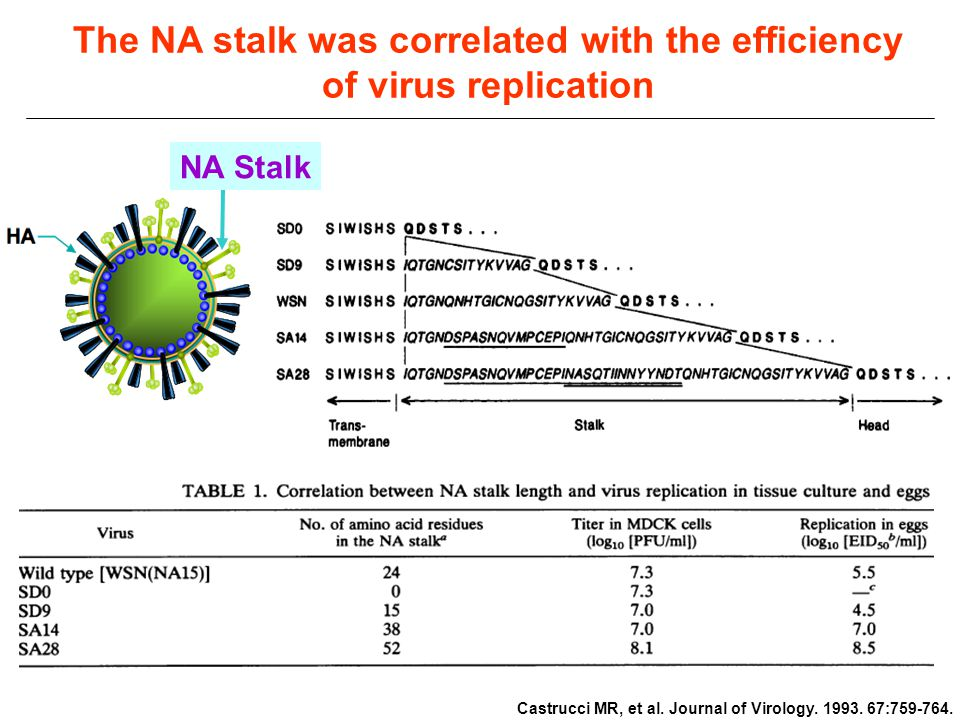 The NA stalk was correlated with the efficiency of virus replication