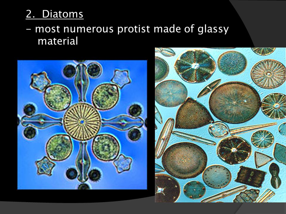 2. Diatoms - most numerous protist made of glassy material