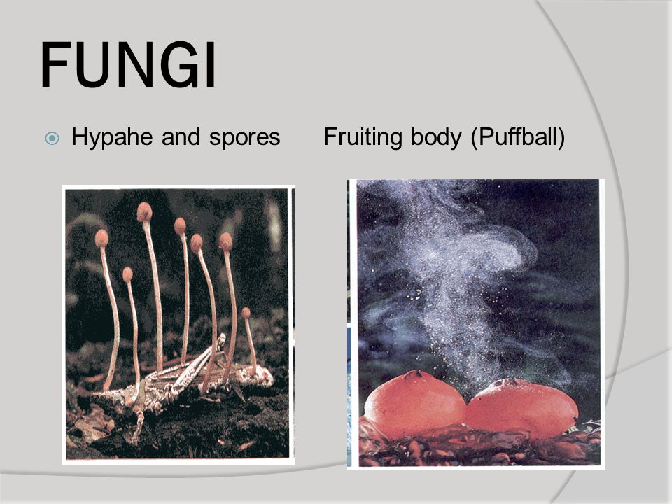FUNGI Hypahe and spores Fruiting body (Puffball)