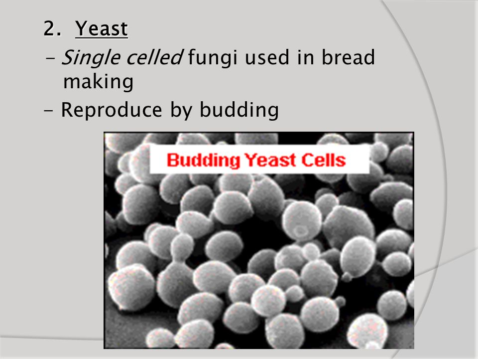 2. Yeast - Single celled fungi used in bread making - Reproduce by budding
