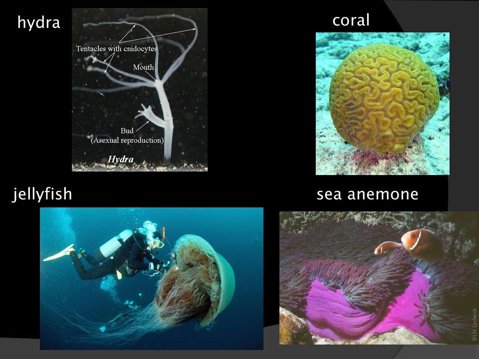 hydra coral jellyfish sea anemone