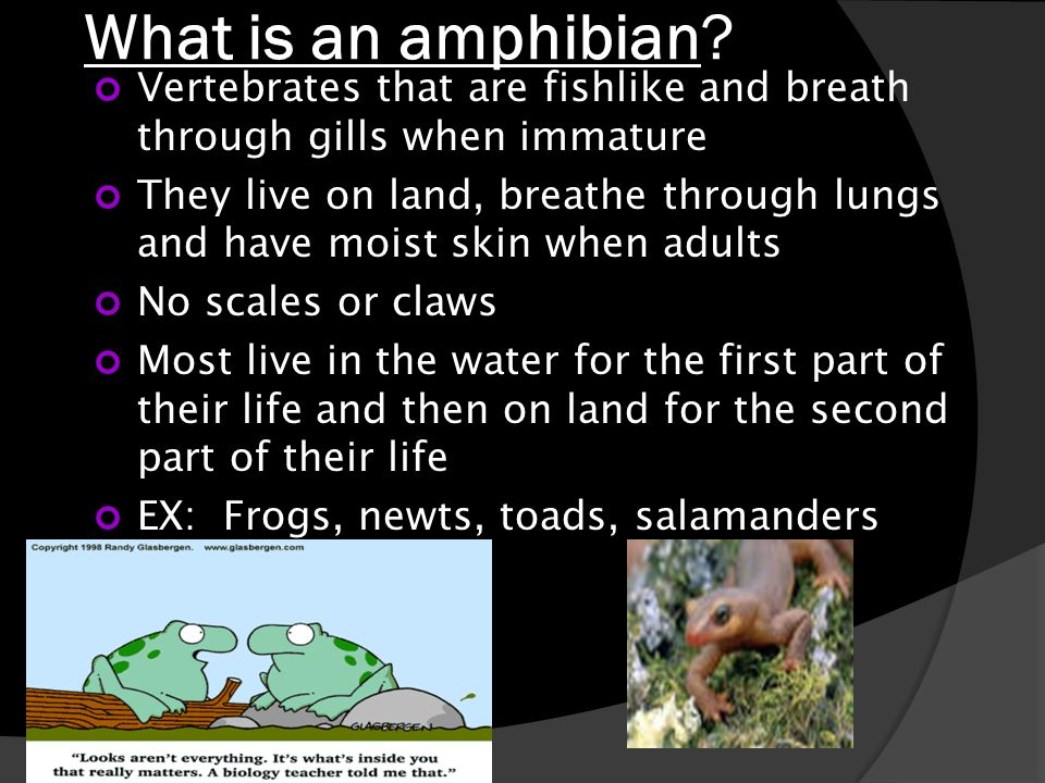 What is an amphibian Vertebrates that are fishlike and breath through gills when immature.