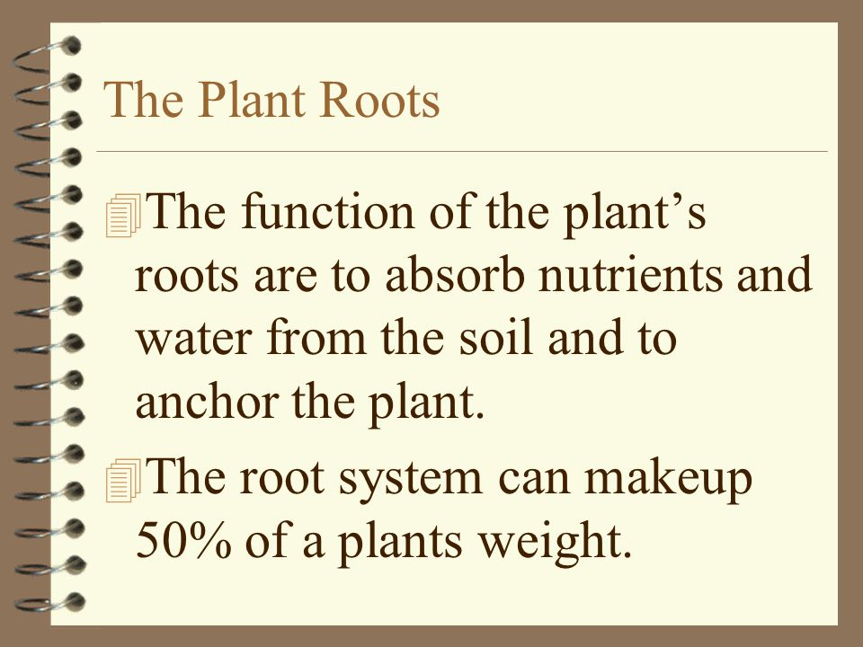 The Plant Roots The function of the plant's roots are to absorb nutrients and water from the soil and to anchor the plant.