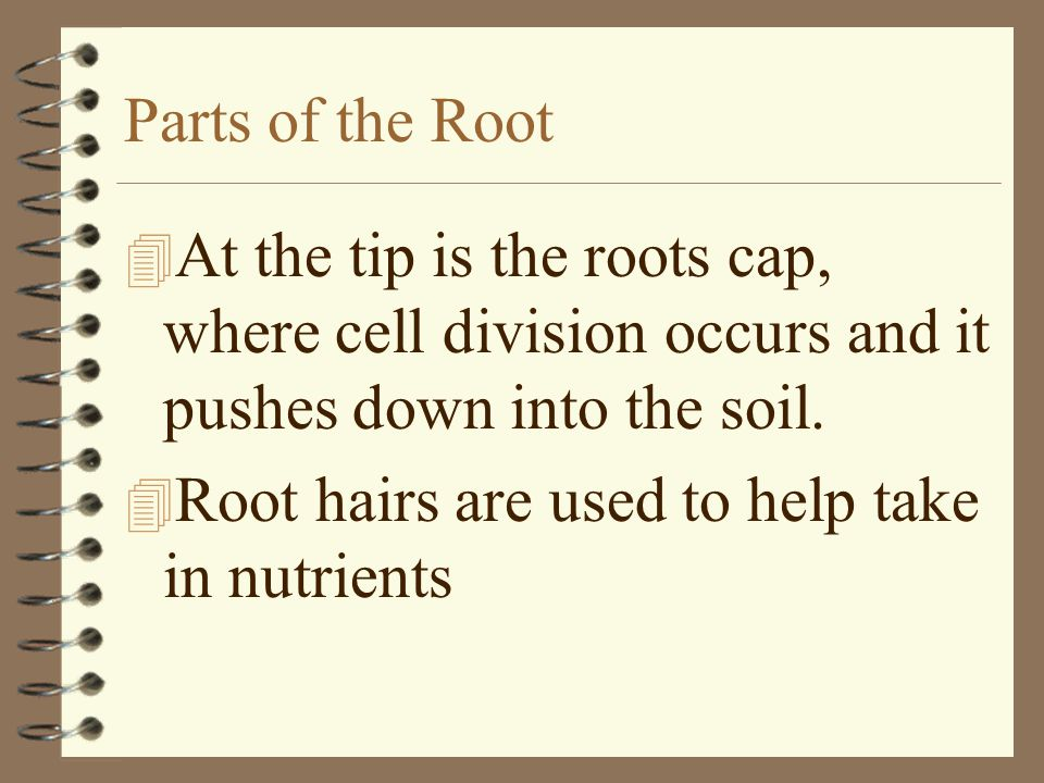 Parts of the Root At the tip is the roots cap, where cell division occurs and it pushes down into the soil.