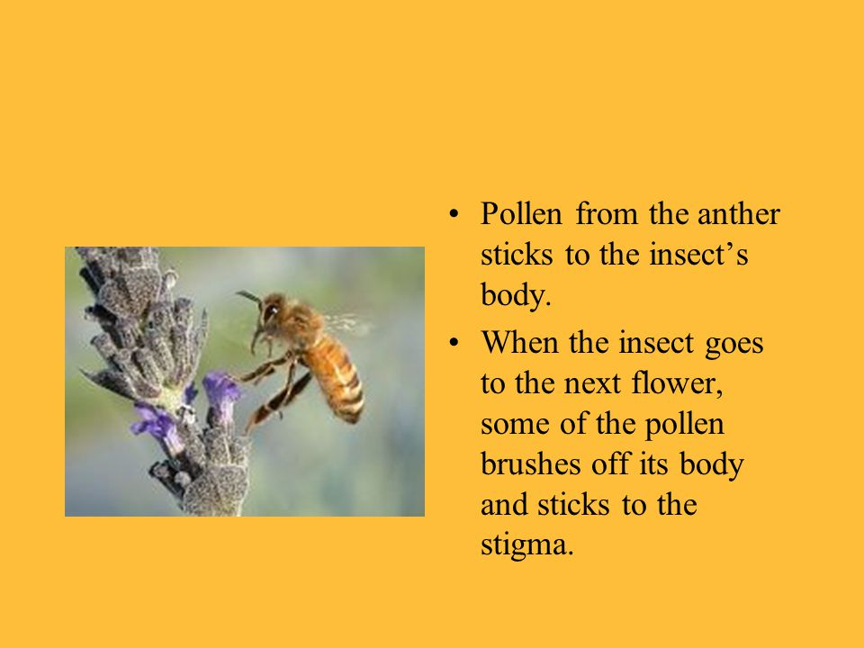 Pollen from the anther sticks to the insect's body.
