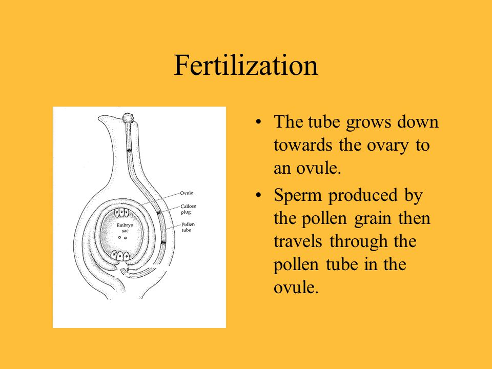 Fertilization The tube grows down towards the ovary to an ovule.