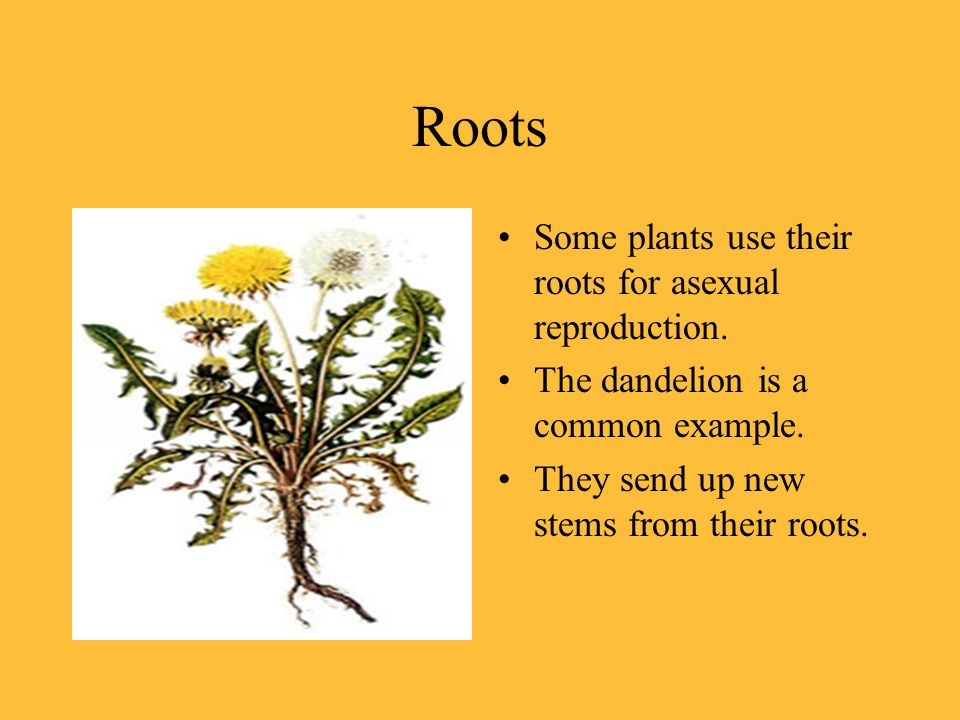 Roots Some plants use their roots for asexual reproduction.