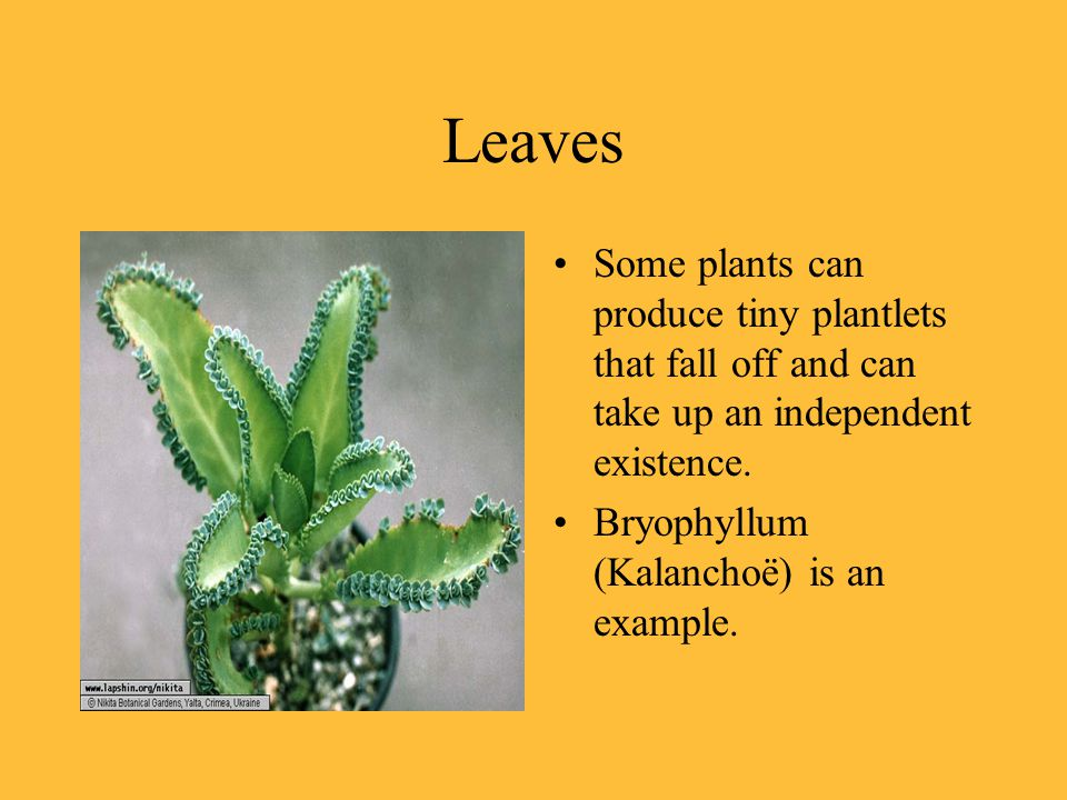 Leaves Some plants can produce tiny plantlets that fall off and can take up an independent existence.