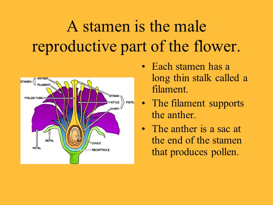 A stamen is the male reproductive part of the flower.