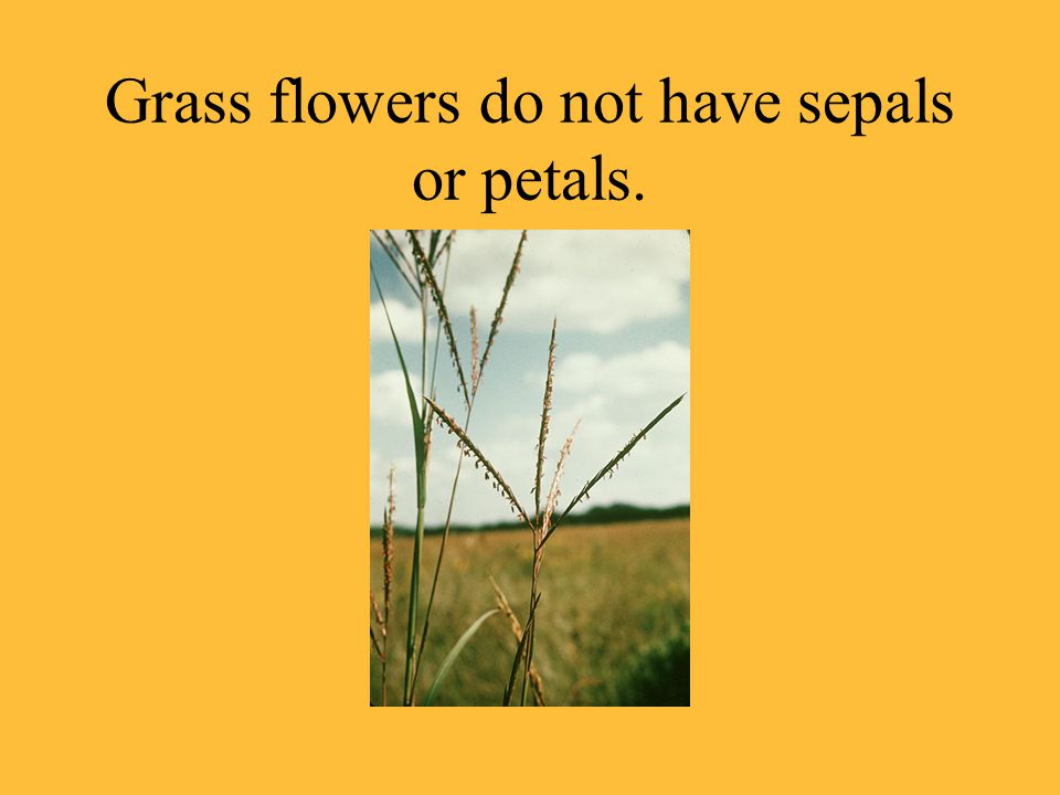 Grass flowers do not have sepals or petals.