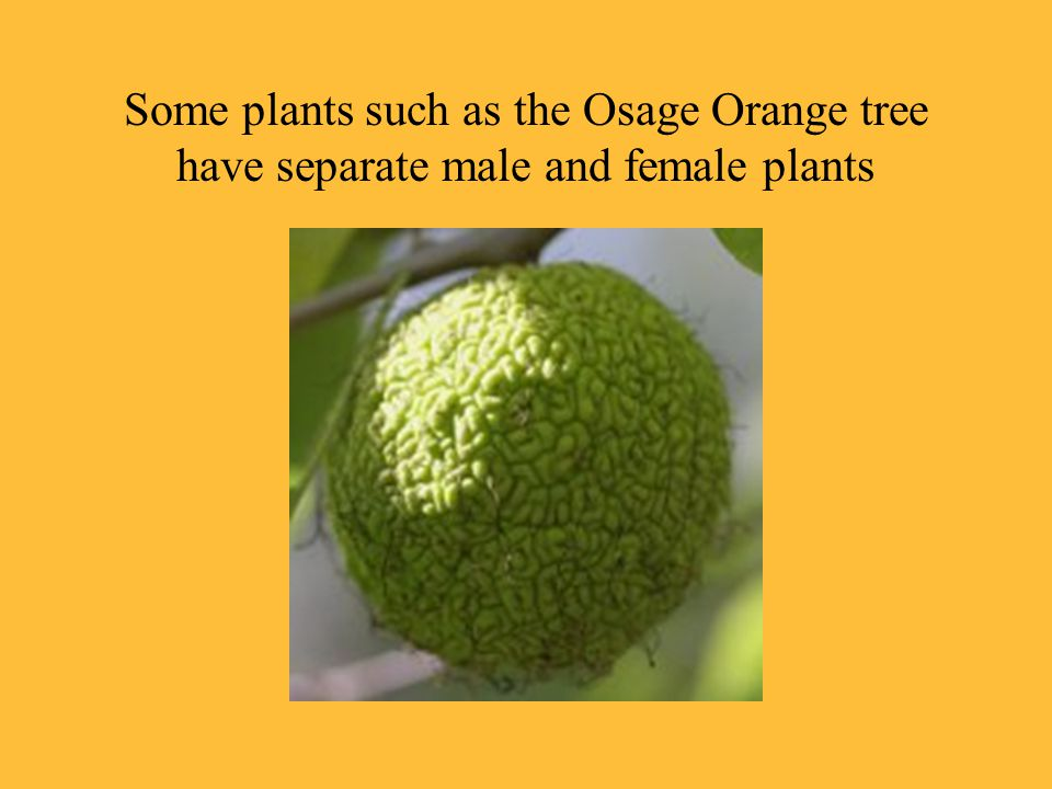 Some plants such as the Osage Orange tree have separate male and female plants