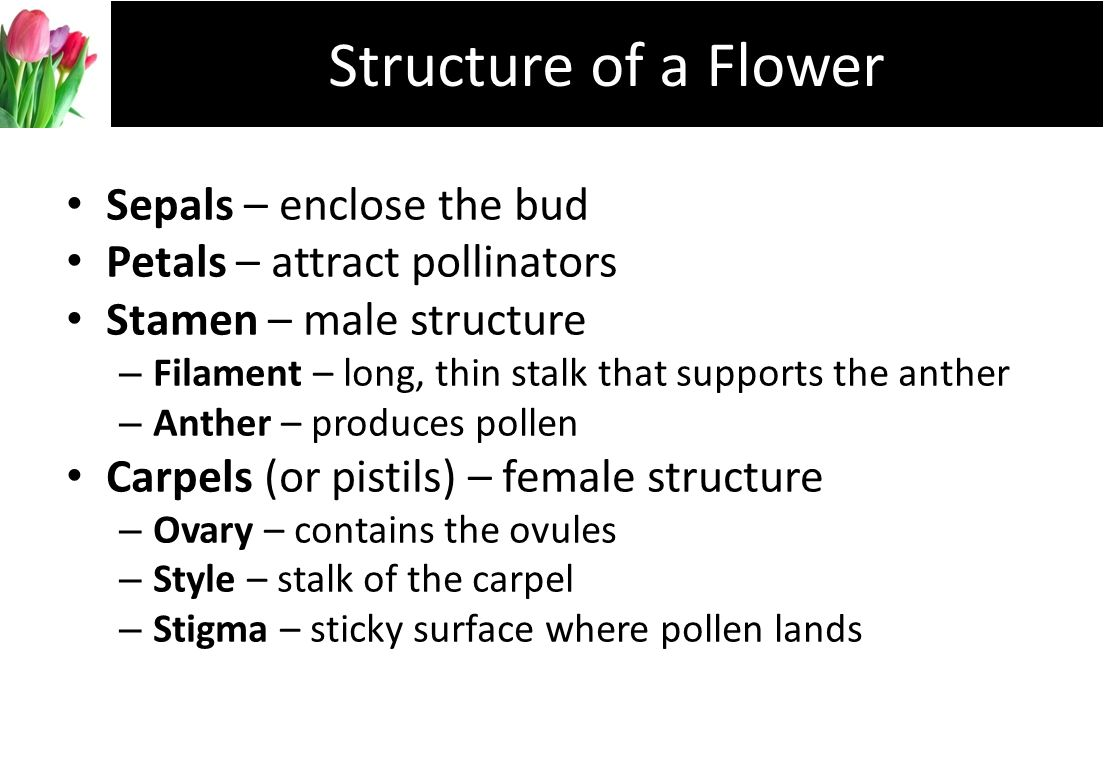 Structure of a Flower Sepals – enclose the bud