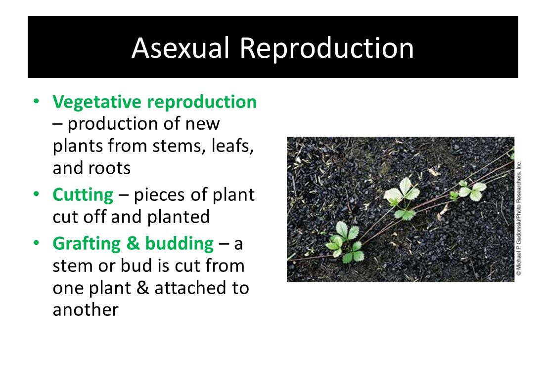 Asexual Reproduction Vegetative reproduction – production of new plants from stems, leafs, and roots.