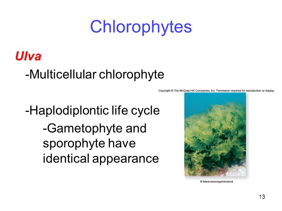 Chlorophytes Ulva -Multicellular chlorophyte