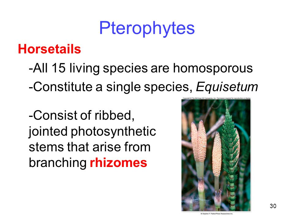 Pterophytes Horsetails -All 15 living species are homosporous