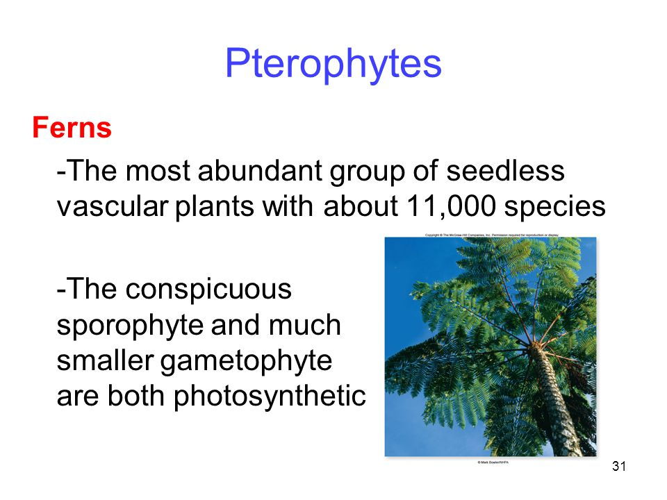 Pterophytes Ferns. -The most abundant group of seedless vascular plants with about 11,000 species.
