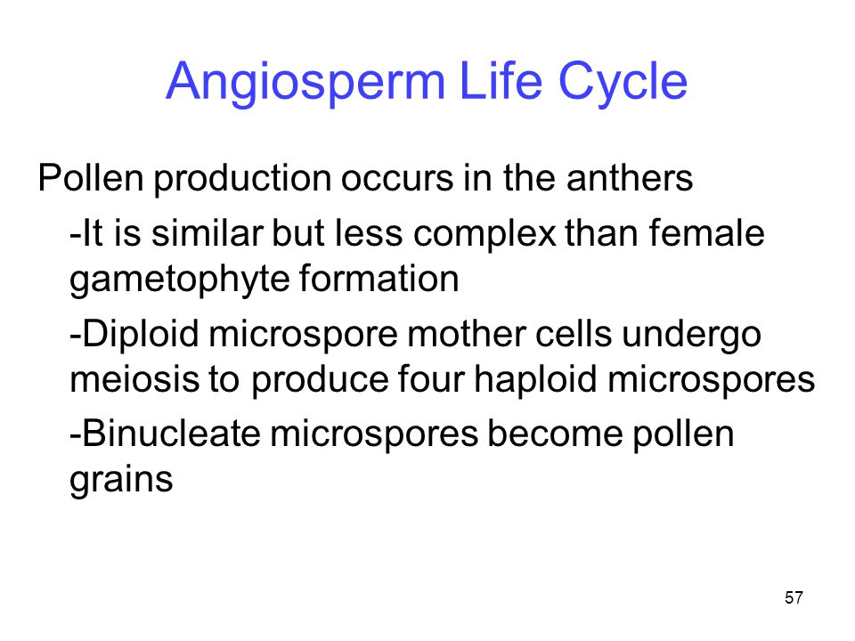 Angiosperm Life Cycle Pollen production occurs in the anthers