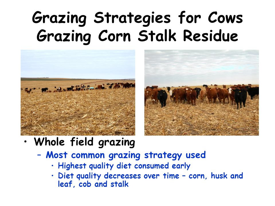 Grazing Strategies for Cows Grazing Corn Stalk Residue
