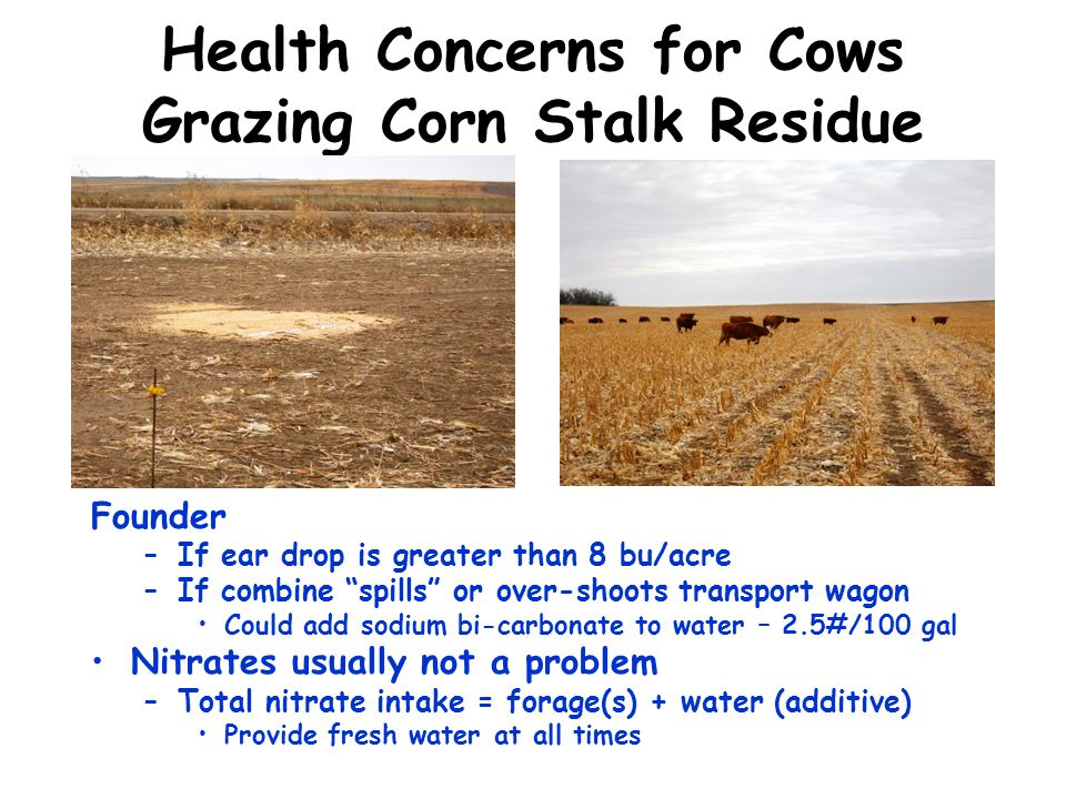 Health Concerns for Cows Grazing Corn Stalk Residue