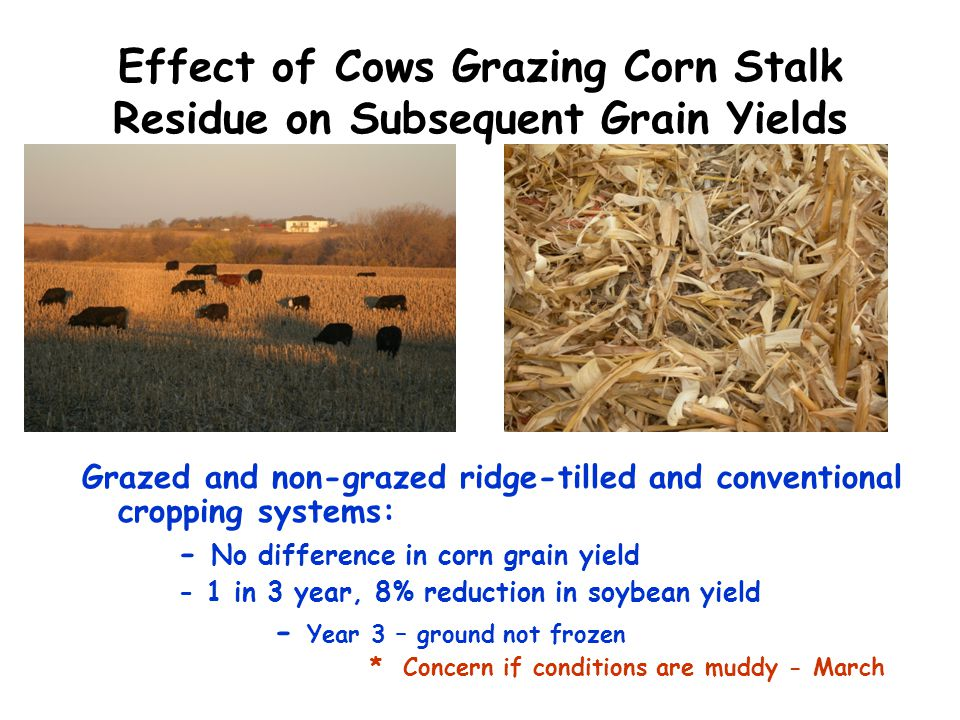 Effect of Cows Grazing Corn Stalk Residue on Subsequent Grain Yields