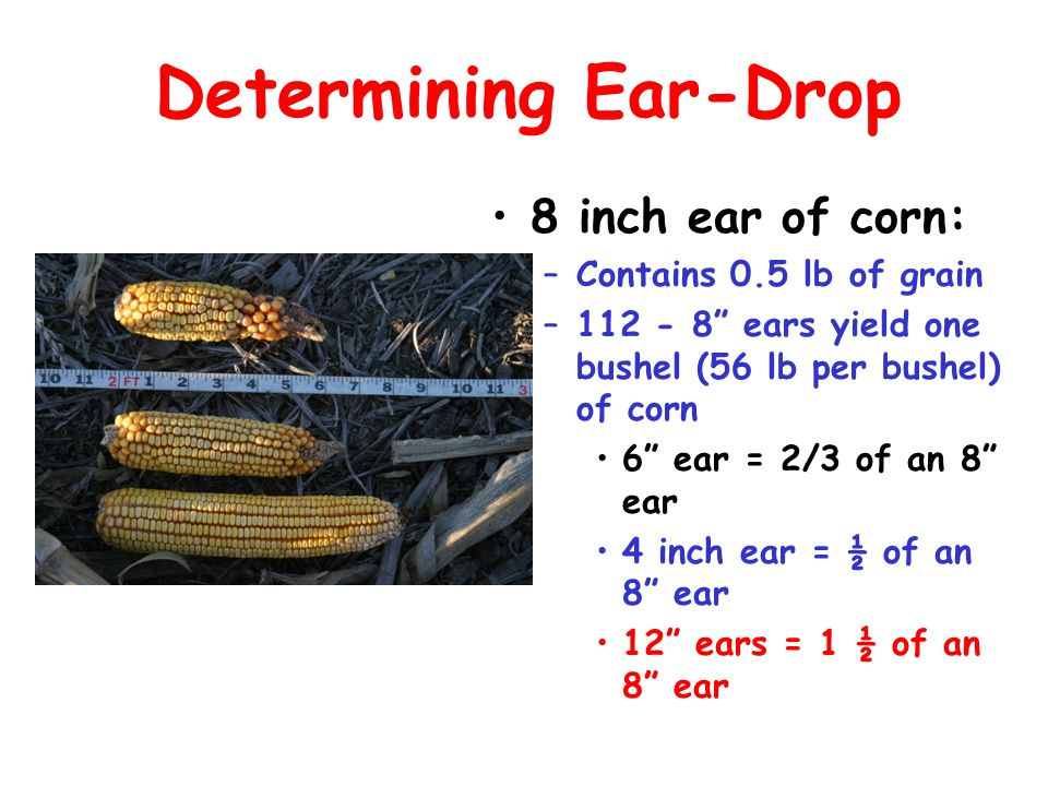 Determining Ear-Drop 8 inch ear of corn: Contains 0.5 lb of grain
