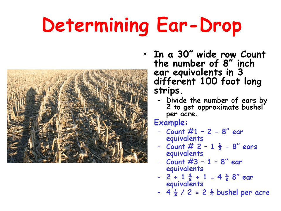 Determining Ear-Drop In a 30 wide row Count the number of 8 inch ear equivalents in 3 different 100 foot long strips.