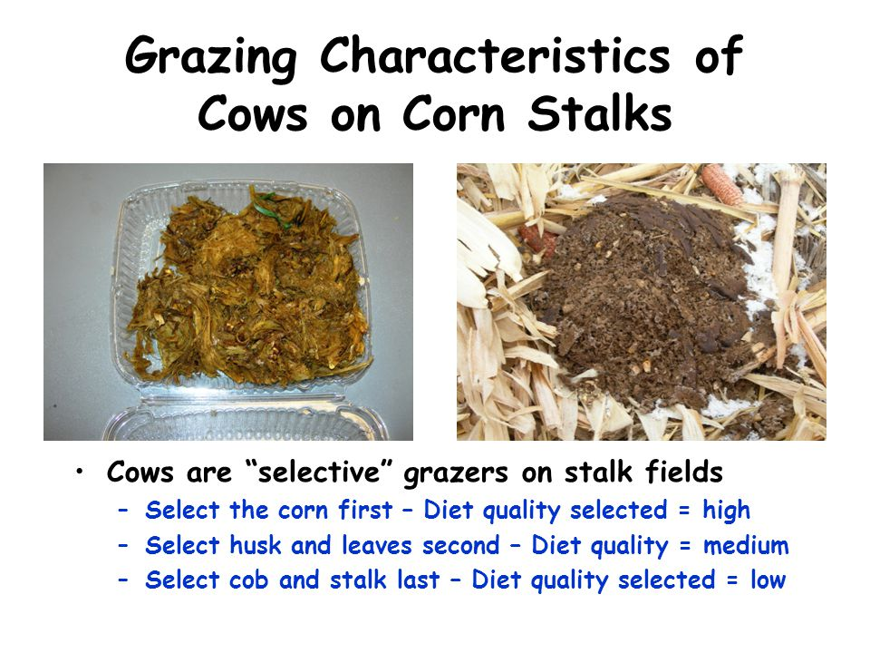 Grazing Characteristics of Cows on Corn Stalks