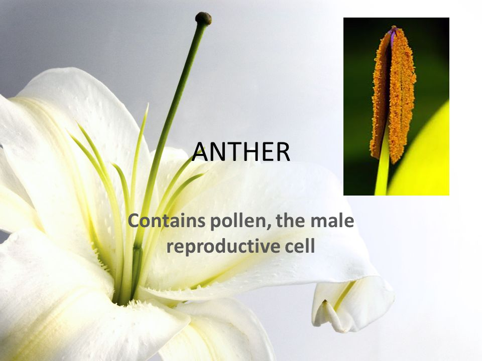 Contains pollen, the male reproductive cell