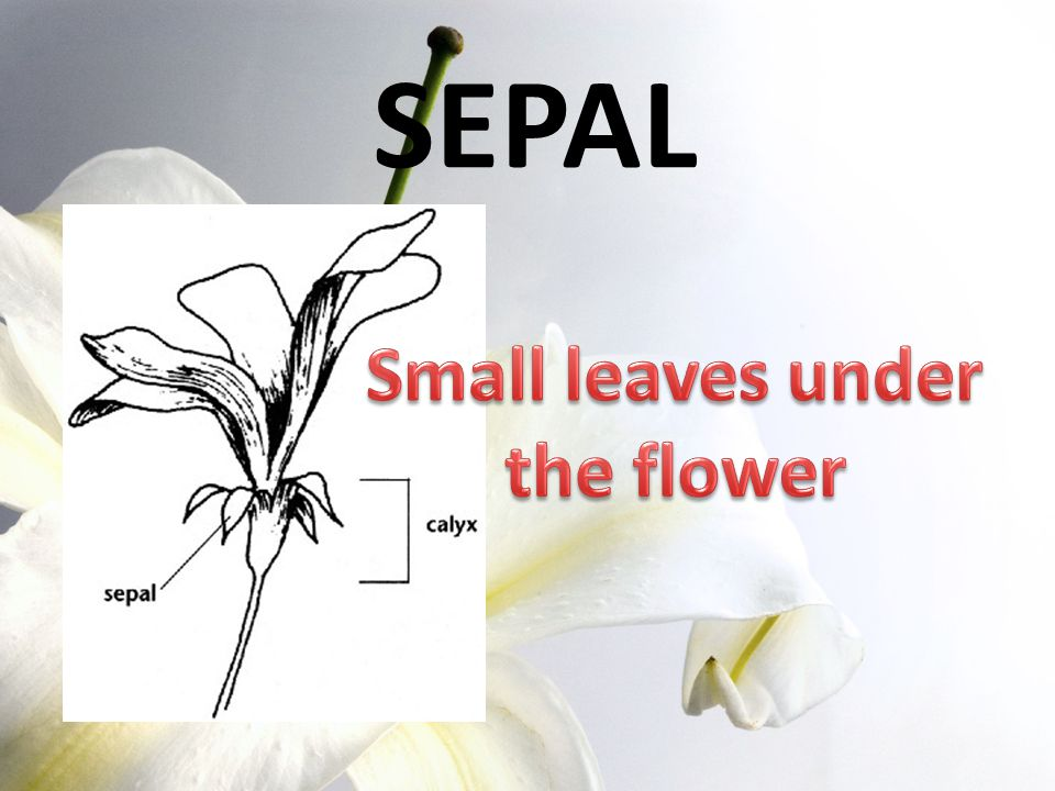 SEPAL Small leaves under the flower