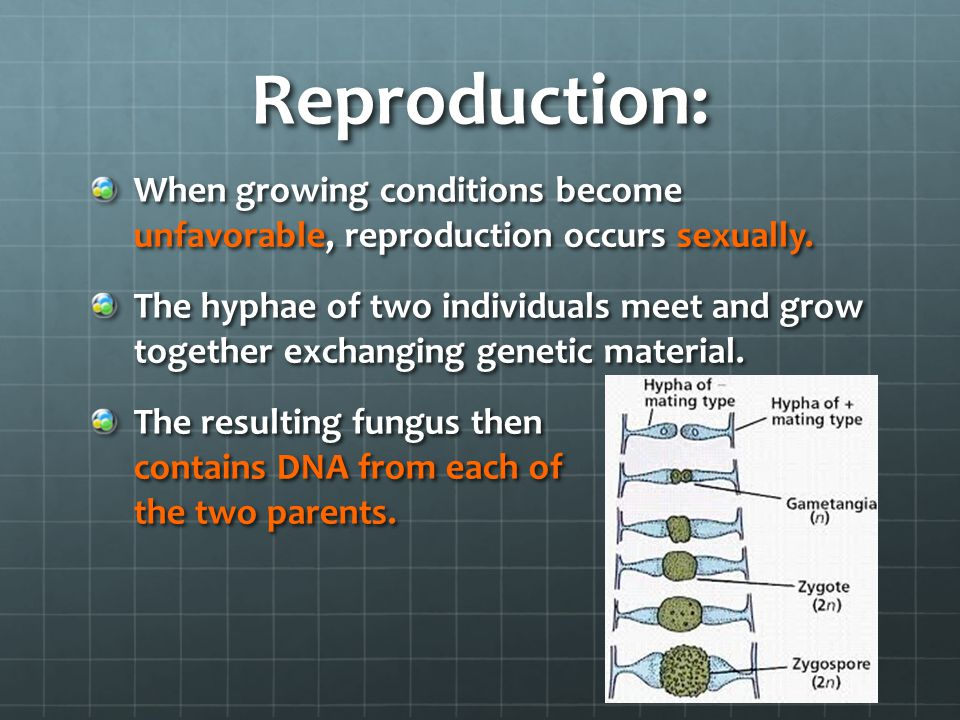 Reproduction: When growing conditions become unfavorable, reproduction occurs sexually.
