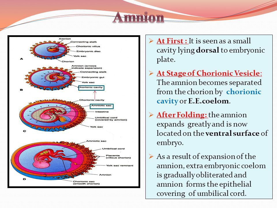 Amnion At First : It is seen as a small cavity lying dorsal to embryonic plate.