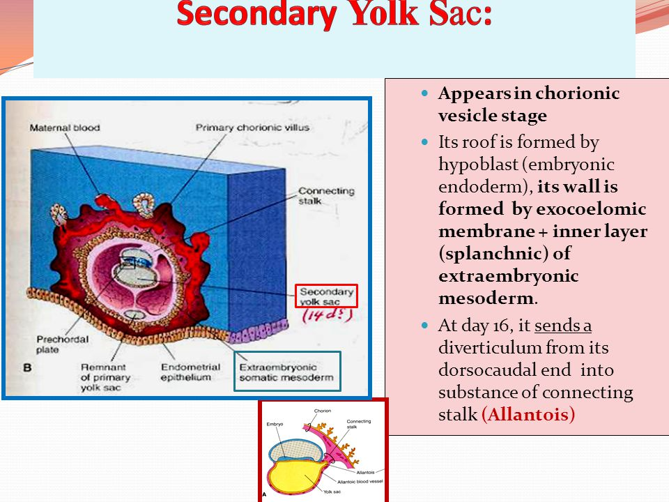 Secondary Yolk Sac: Appears in chorionic vesicle stage